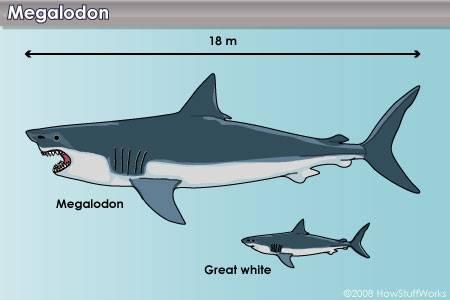File:Megalodon vs Great White.jpg