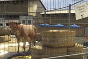 Director Mode Actors GTAVpc Animals Cow
