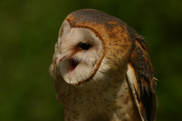 File:Barn Owl screeching.png