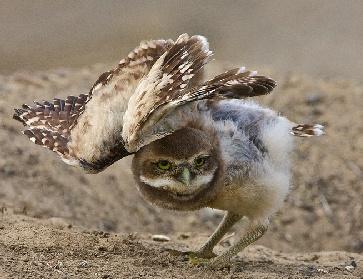 File:Burrowing owl gonna take off.jpg