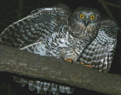File:Powerful-Owl.jpg