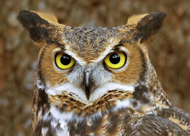 File:Great horned owl face 2 copy.jpg