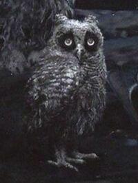 Aggies owlet 1