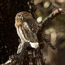File:Pygmy Owl.jpg