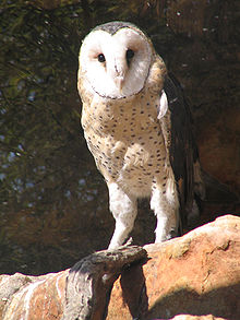 File:Grassowl.jpg