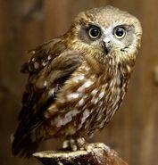 Boobook owl 0549