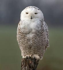 File:Snowy-owl3 (1).jpg