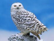 Snowy owl 0541