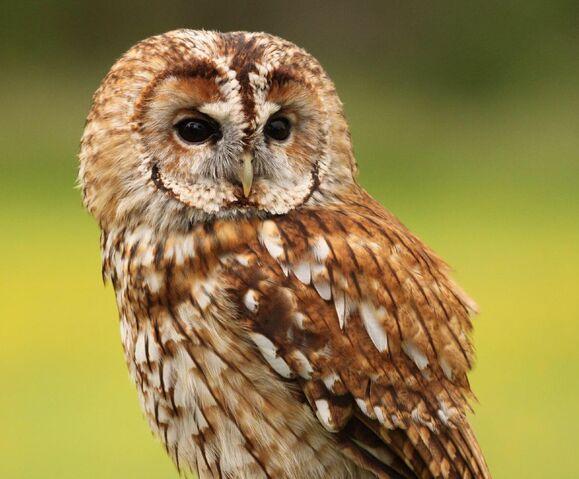 File:Tawny owl 0551.JPG