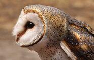 Masked owl 0545