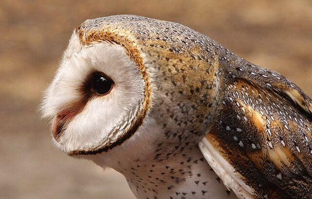 File:Masked owl 0545.JPG