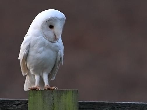 File:Barn owl 0558.JPG