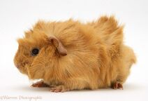 Abyssinian Guinea Pig 1 (red)