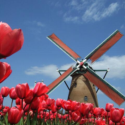File:Red tulips-245.jpg