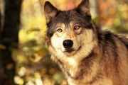 Article-new ehow images a08 58 pf draw-front-wolf-head-800x800