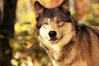 File:Article-new ehow images a08 58 pf draw-front-wolf-head-800x800.jpg