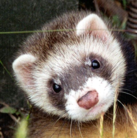 File:Funny-Ferret-Cute-Small-Pets-Wallpaper-Pictures-07.jpg