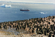 Adelie chicks in antarctica and Ms Explorer