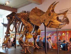 Triceratops mount