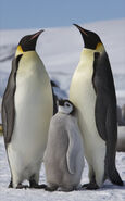 Aptenodytes forsteri -Snow Hill Island, Antarctica -adults and juvenile-8