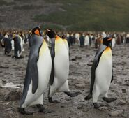 King Penguins at Salisbury Plain (5719466981)