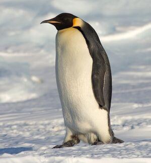 Emperor Penguin Manchot empereur