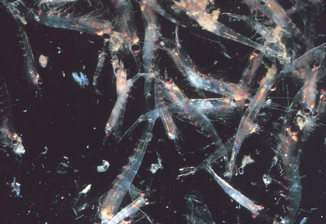 File:Krill swarm.jpg