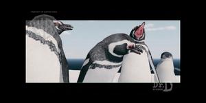 Strike - Magellanic penguin looking at Little penguin