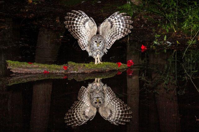 File:Barred Owl reflection.jpg