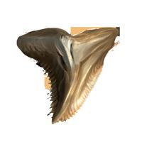 File:Shark-fang-lrg.png