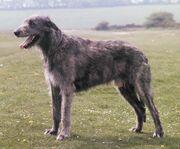 IrishWolfhound1-1-