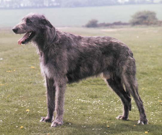 File:IrishWolfhound1-1-.jpg