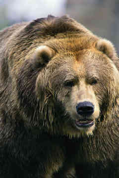 File:Grizzly-bear-0002.jpg