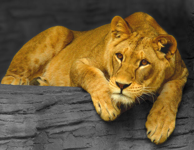 File:Lioness, Olomouc.jpg