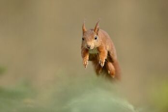 Red-squirrel-male-jumping