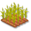 Corn Stage 3