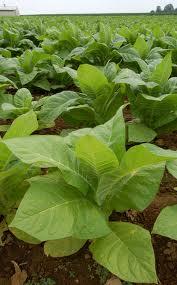 File:Tobacco plant.jpg