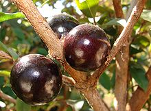 220px-Jabuticaba fruto