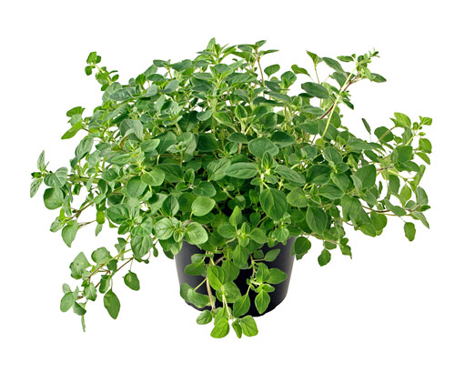 File:Fresh oregano.jpg