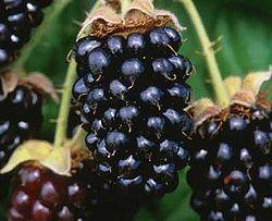 250px-Marionberries (2493507934)