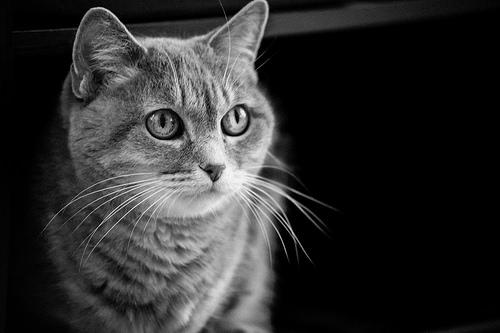 File:Grey Cat.jpg