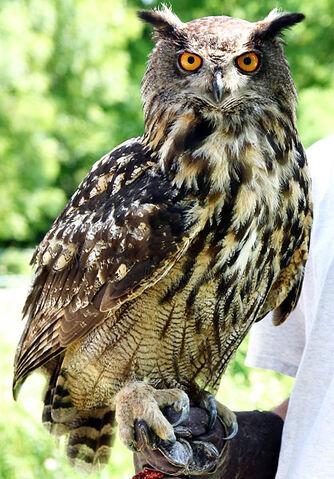 File:Owl Form.jpg
