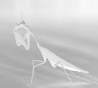 File:Icicle Mantis.jpg