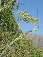 Foeniculum vulgare 06.JPG