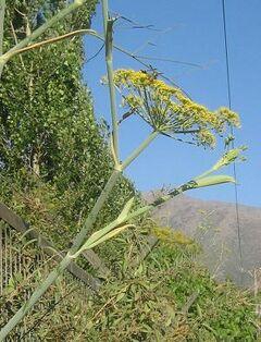 Hinojo (Foeniculum vulgare)