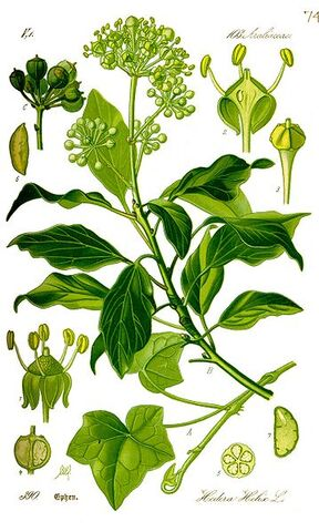 Archivo:Thome-Illustration Hedera helix correjida.jpg
