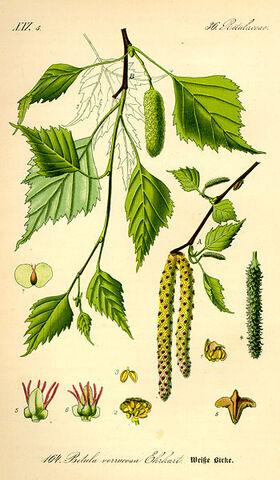 Archivo:Thome Betula pendula.jpg