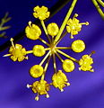 FleurAnethDetail2