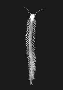Speleonectes tanumekes unlabeled