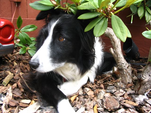 File:Border Collie - Isla female 4 years old.jpg